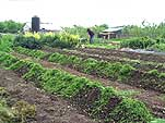 Organic Vegetable Growing Area